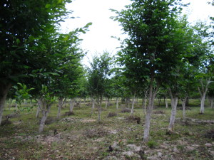 Photo credit: Erika Vohman 2010. 7-year old Maya Nut plantation in Ticul, Mexico All the trees in this photo were pruned severely at 2 years old.