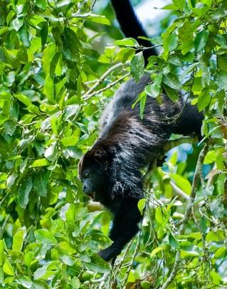 Los monos saraguates y araña consumen las hojas y frutas de la Nuez Maya y son importantes dispersores de las semillas.