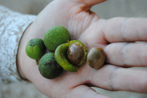 Brosimum alicastrum fruits, known as Maya Nuts in the US