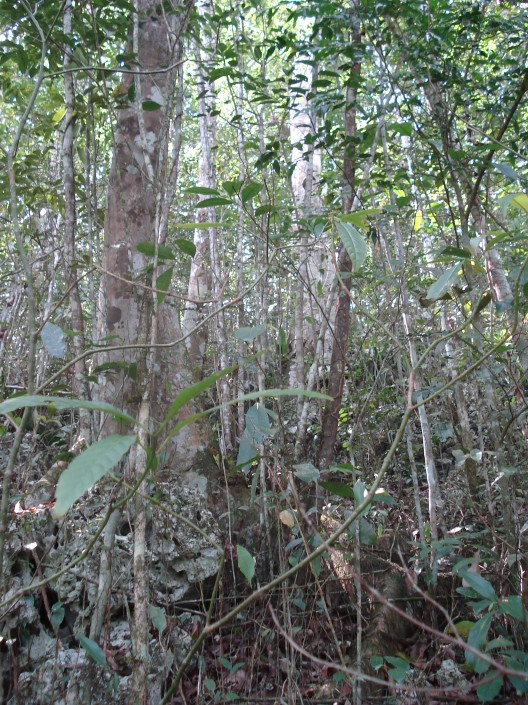 Maya Nut (Breadnut) forest in Jamaica. 95% of the stems in this photo are Maya Nut! Erika Vohman, photo