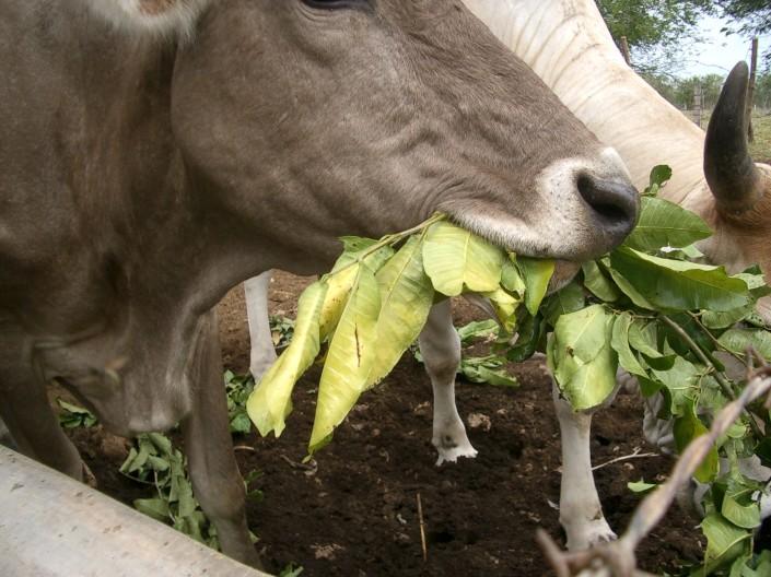 vaca comiendo hojas
