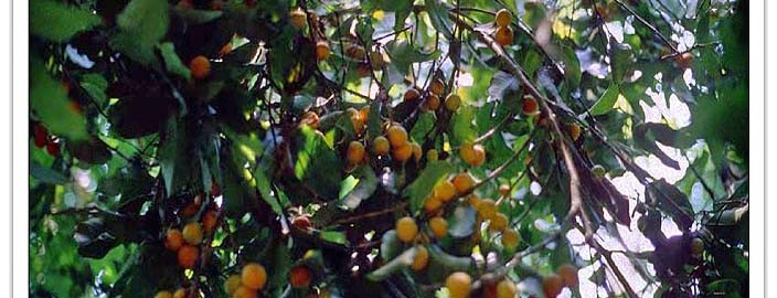 Fruiting branch of Brosimum alicastrum.  A red-fruited variety of the species is also common.